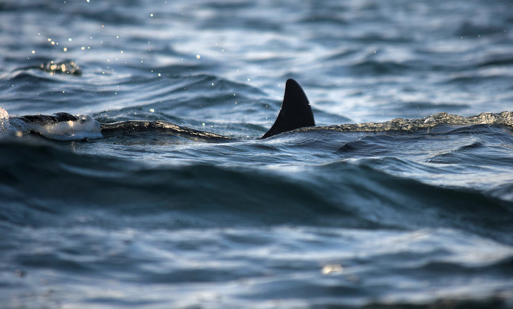 Bottlenose dolphin fin near the Monach Isles lighthouse