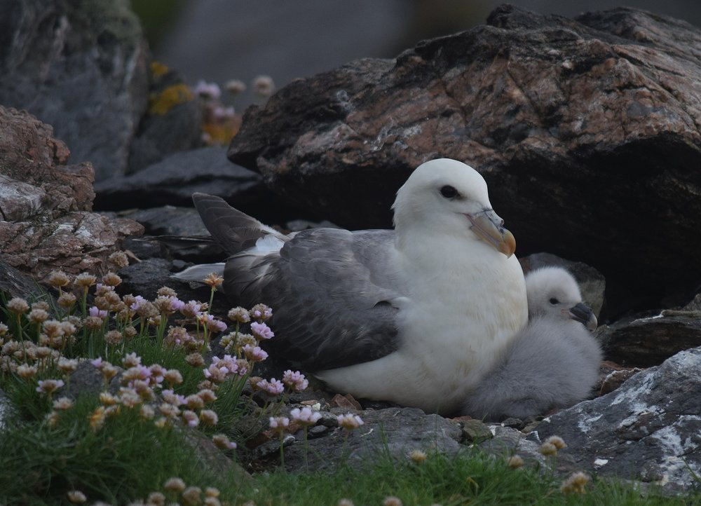 Fulmar and chick (on uninhabited islands, these cliff-dwelling birds can afford to nest anywhere)