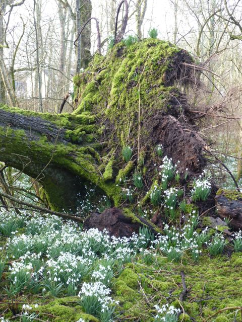 island-review-islay-spring-snow-drops-fallen-tree