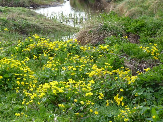 islay marsh marigolds