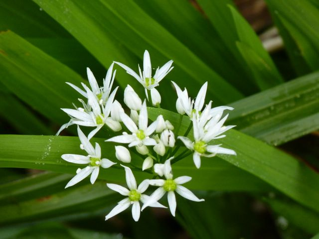 islay flowers ramson