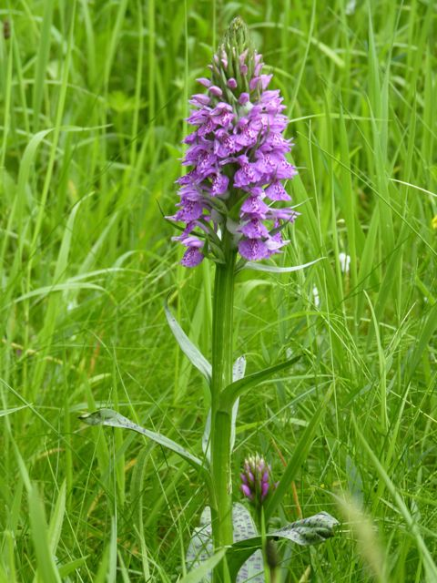 Hybrid Heath Spotted-orchid x Northern Marsh-orchid