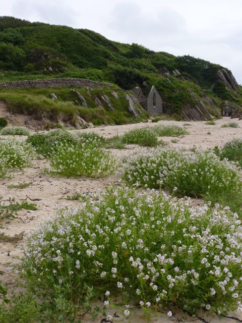 Sea Rocket at Kilnaughton Bay