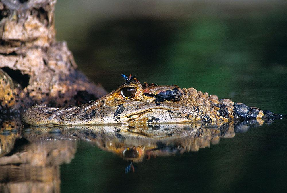 Black caiman. Photograph: Frank Hajek