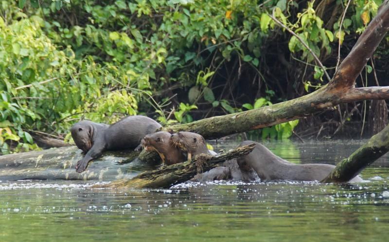 Giant otter family. Photograph: Jessica Groenendijk.
