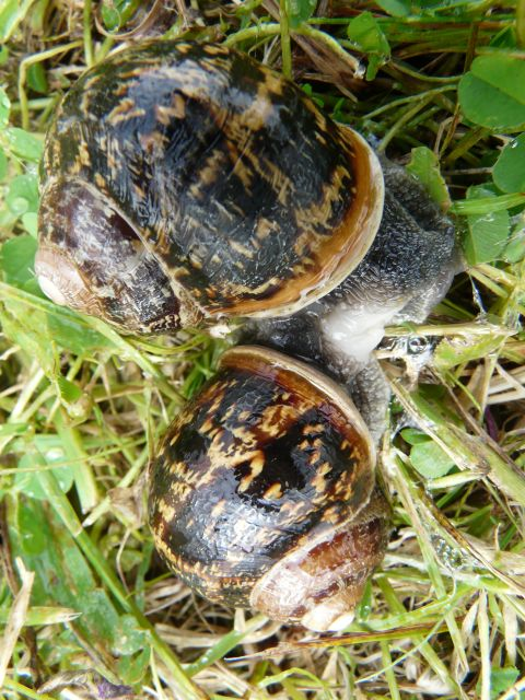 Mating snails. Photograph by Mavis Gulliver.