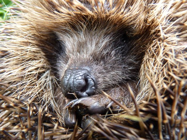Hedgehog. Photograph by Mavis Gulliver.