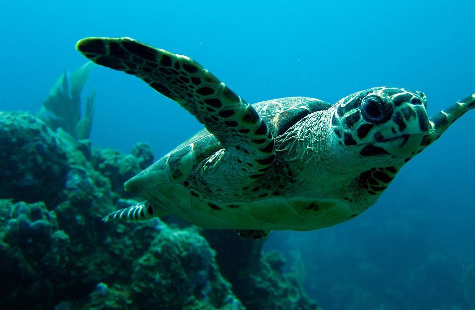 Hawksbill_Turtle_BVI.JPG