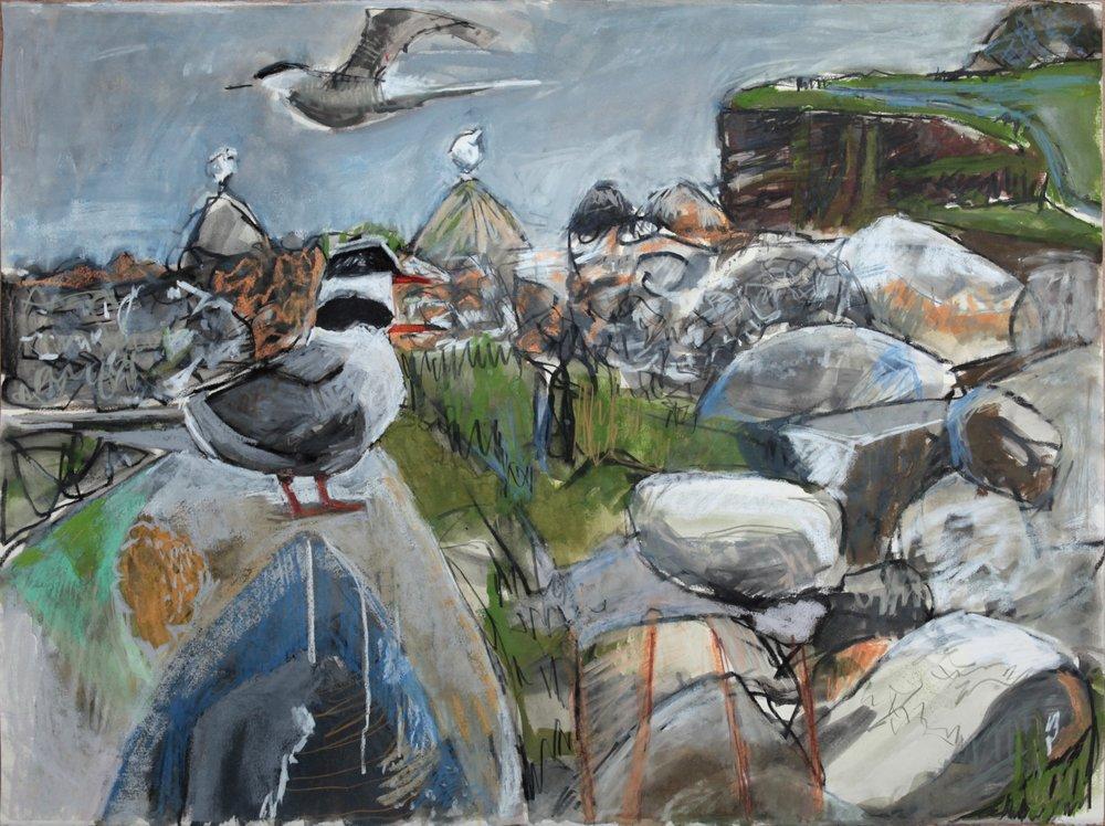Arctic Tern Colony, Shetland