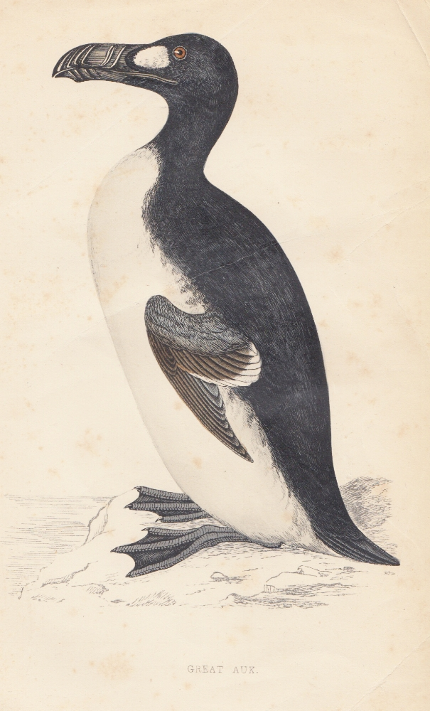 Great Auk.jpg