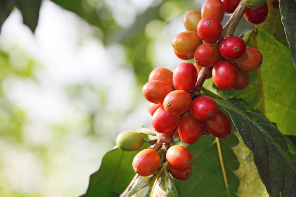 Coffee Tree - Avita Coffee - Best Coffee Beans