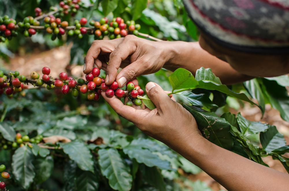 Coffee Roasting Process - Avita Coffee - Green Coffee Beans