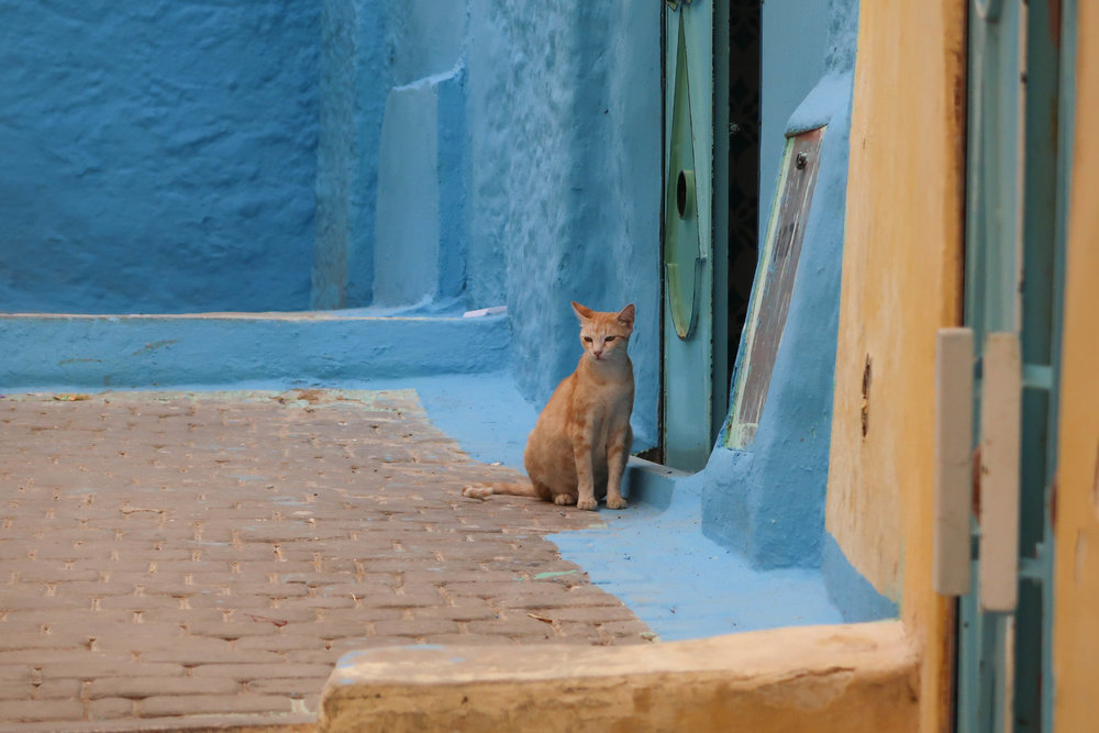 Street cat in the sacred town of Moulay Idriss in Morocco.