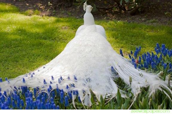 peacock-white-lg.jpg