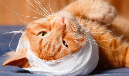 A cat with a bandaged head.