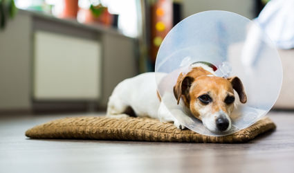 A dog laying down, wearing a cone.