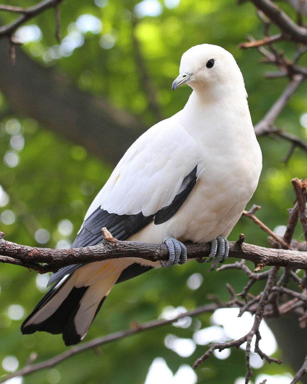1200px-Pied_Imperial_Pigeon_04.jpg