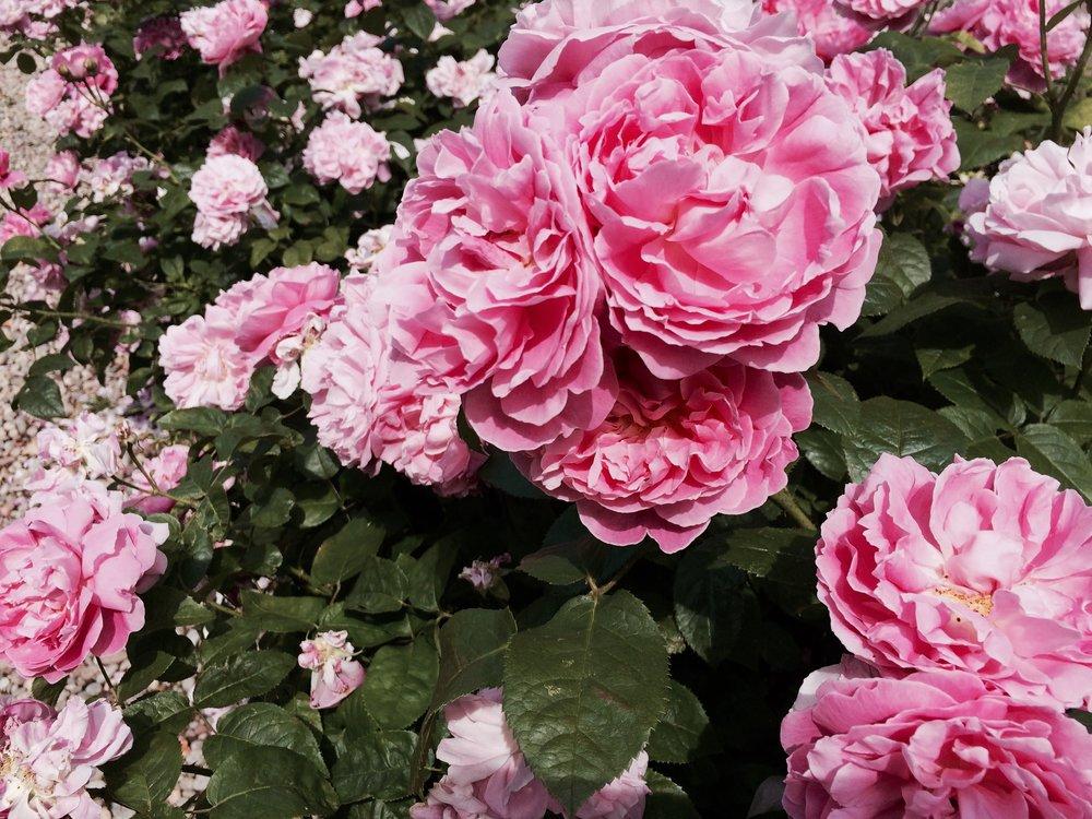 More British Roses