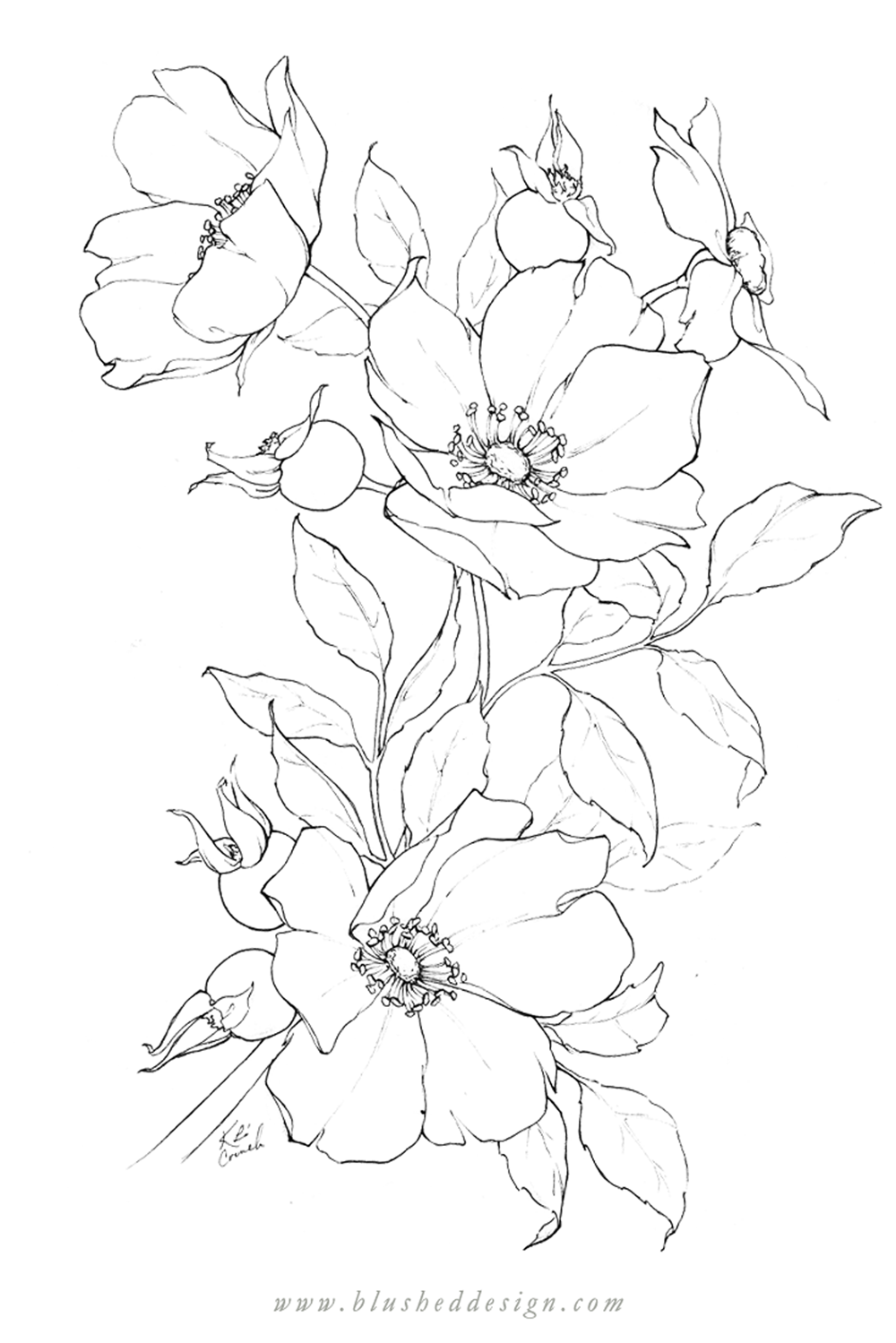 I love these wild roses at peek bloom!  There's something about pencil flower drawings that makes my heart sing.  Whimsical wild rose pencil drawing by Katrina of Blushed Design. #floraldrawing #flowerdrawing #botanicalillustration #wildroses #rosetattoo