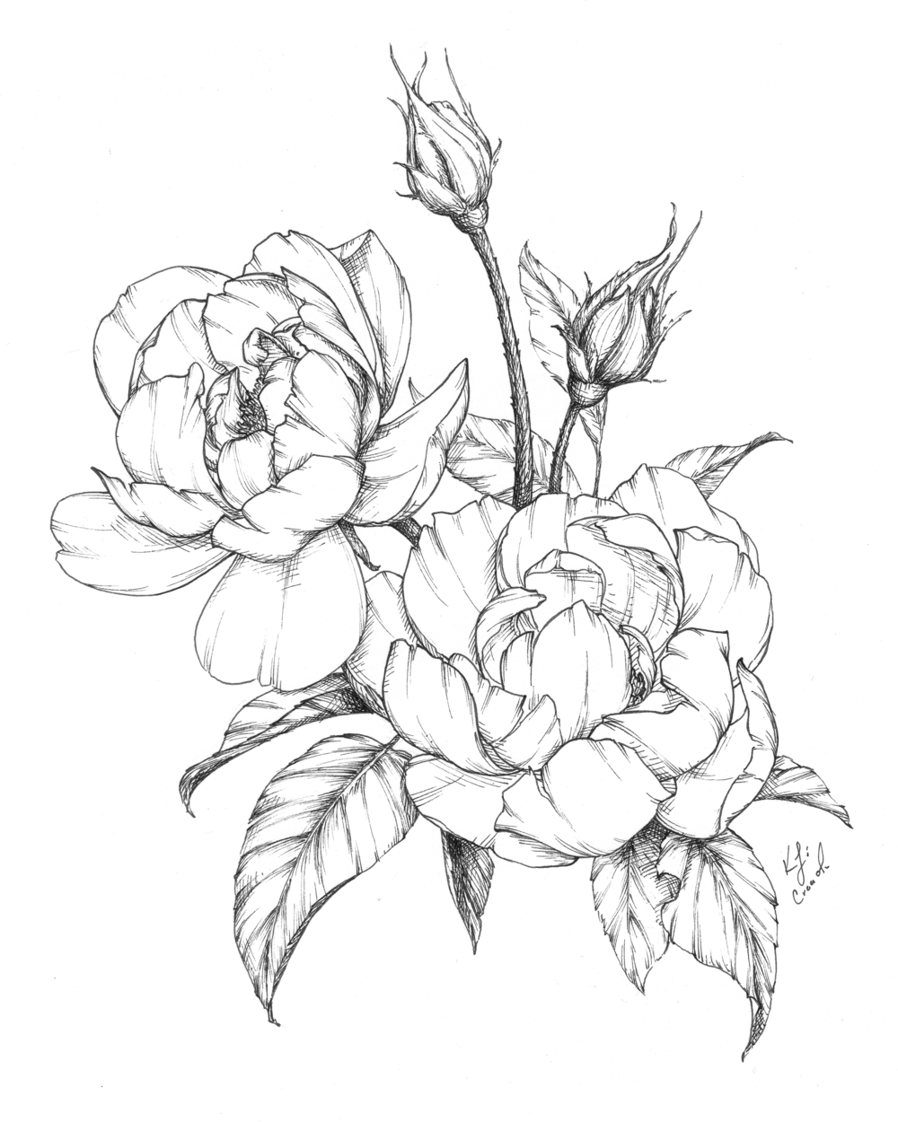 Botanical illustration featuring an ink contour and modern shading on large, floppy garden roses that almost have a romantic peony feel!  Learn to shade like this in Katrina's new Flower Shading Course! #botanicalillustrations #flowerillustrations #botanicaldrawing #flowerdrawing #floraldrawing
