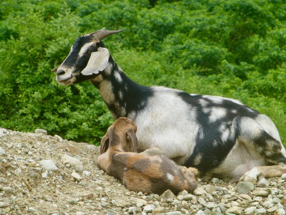 Agua Blanca goats number in the thousands and are an essential element in the economy here.