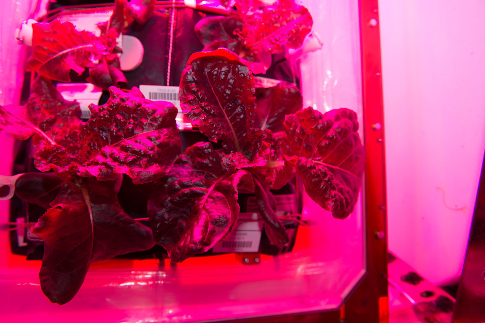 In 2015, astronauts grew red romaine lettuce. When a small batch was eaten by the onboard crew, it was described as tasting like arugula. Photo Credit: Scott Kelly / NASA
