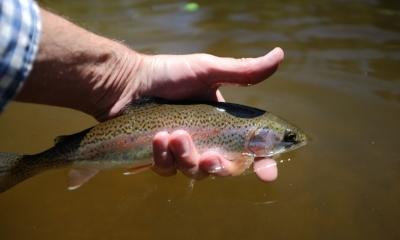 Chambers Lake Rainbow Trout