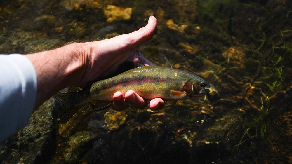 Golden Trout from Wind Rivers