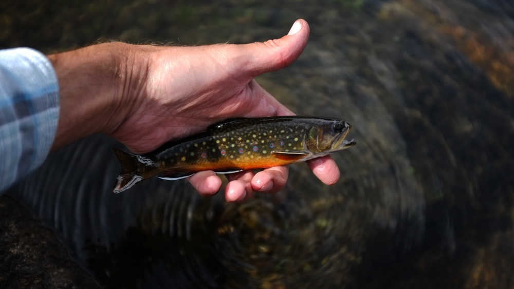 Brook Trout from the Wind River Range