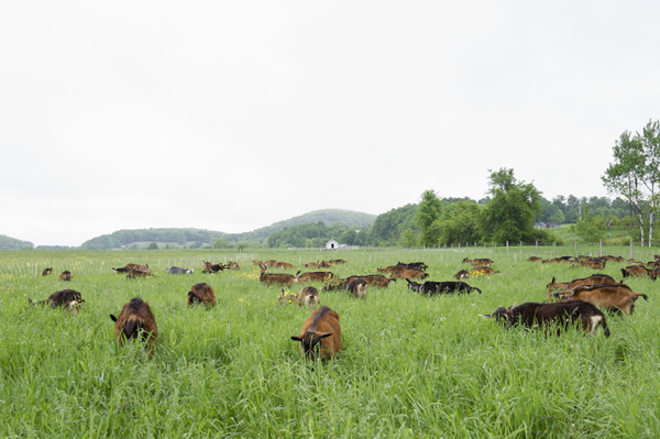 fieldofgoats.jpg