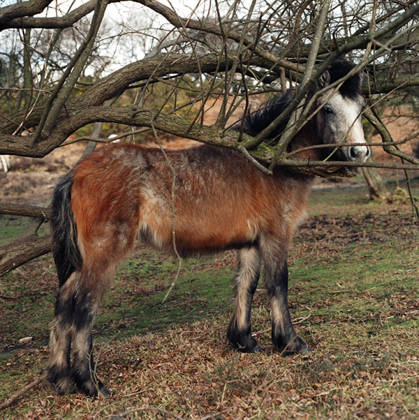 Horse II, New Forest (2006)