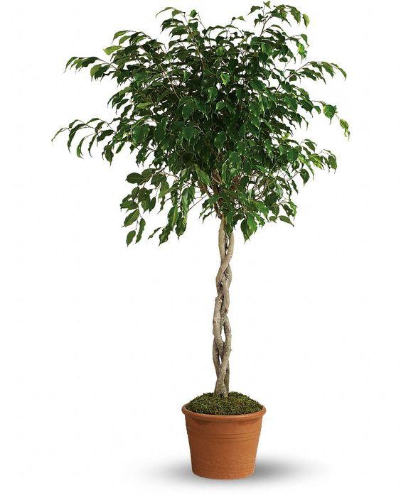 Weeping Fig Tree