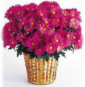 Florists Chrysanthemum