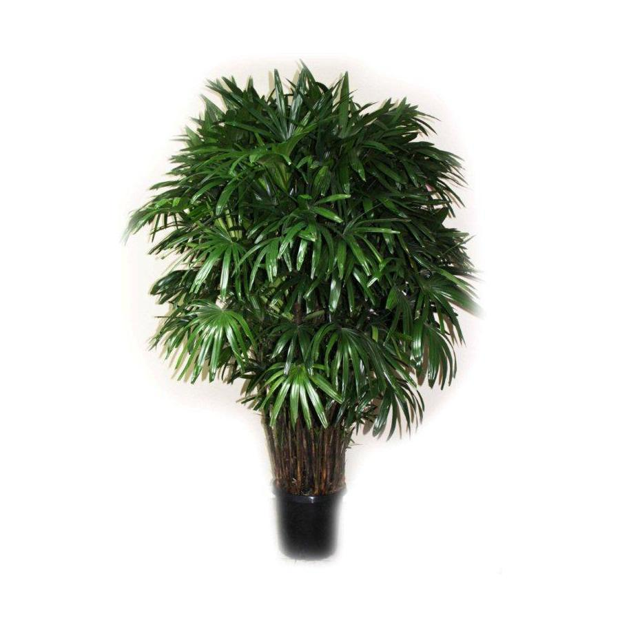 Broadleaf Lady Palm
