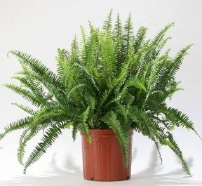 Kimbery Queen Fern