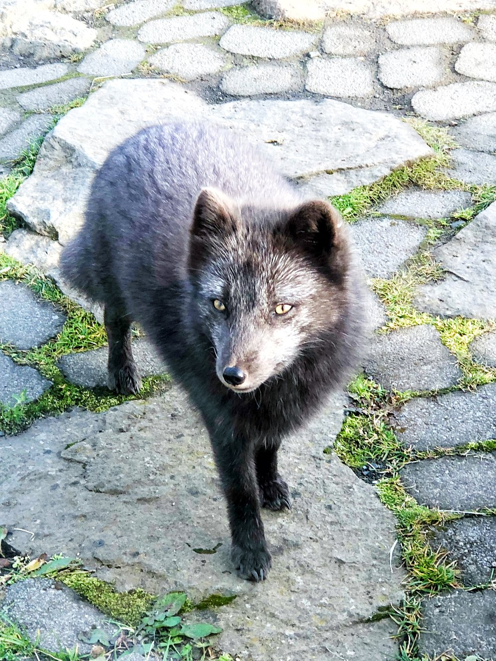 Arctic fox at Heydalur