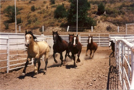 American Wild Mustangs of the Wild Horse Inmate Program. Photo Courtesy of Tim Hayes collection.