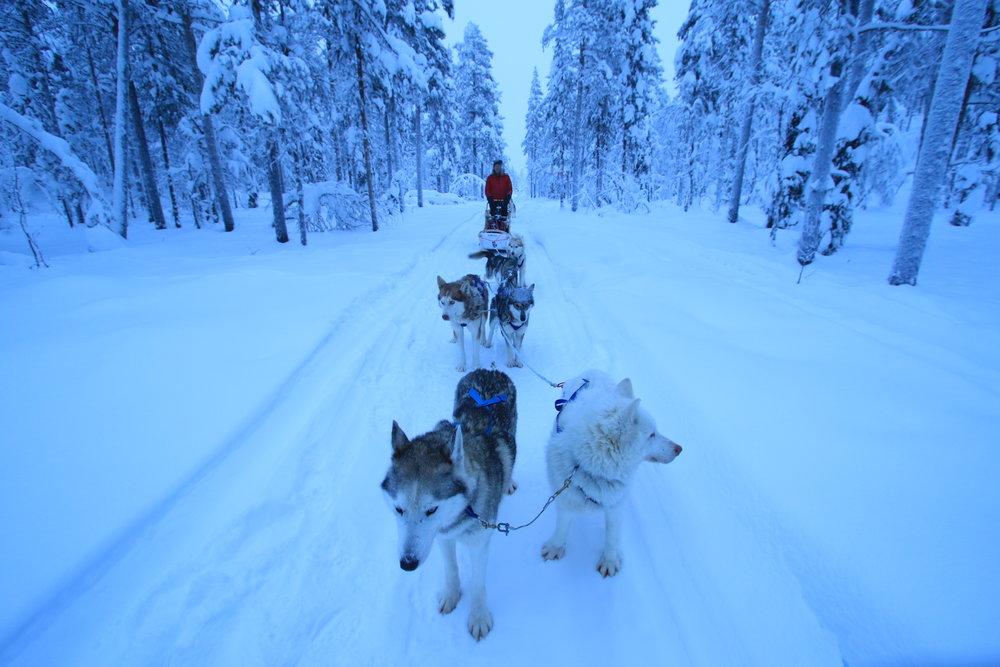 Swedish Lapland Tours | Dog Sledding in Kiruna, Sweden