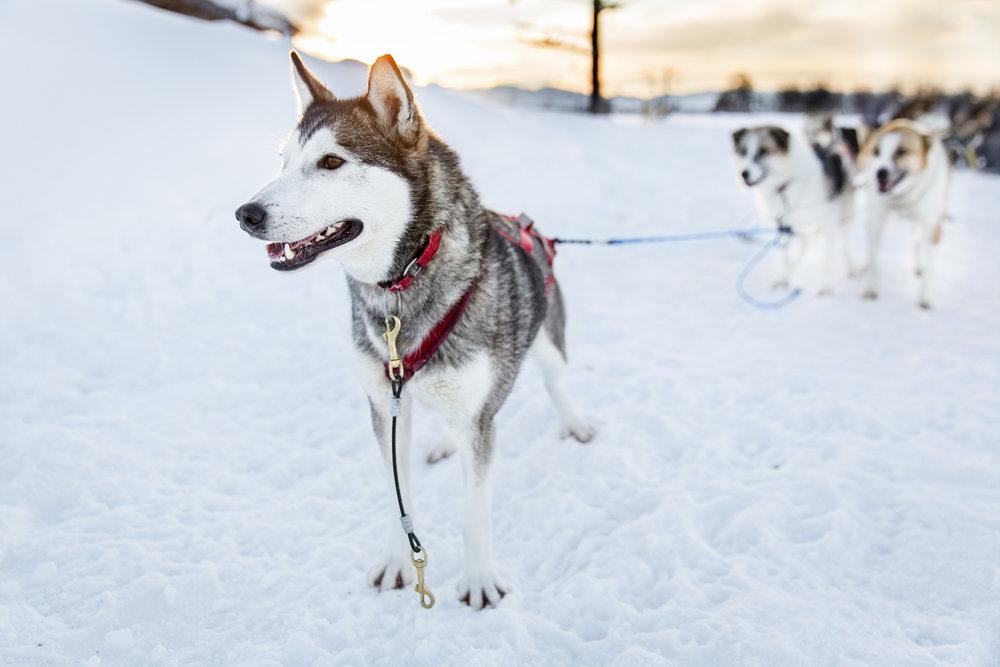 Swedish Lapland Tours | Dog Sledding in Kiruna, Sweden 7