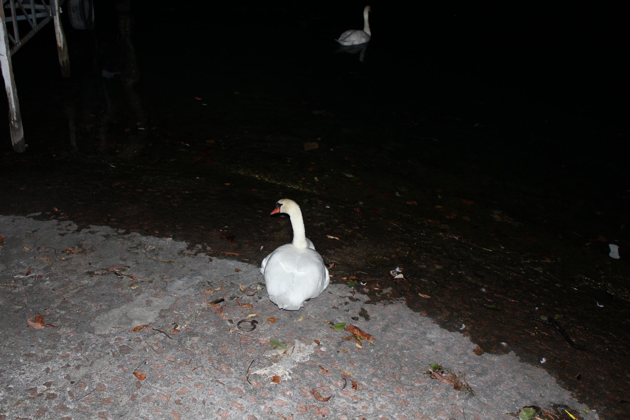 a resting swan