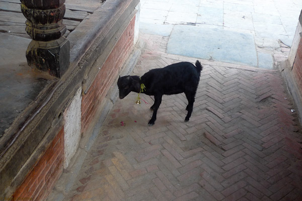 A goat inside of a temple