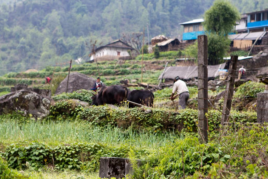 water buffalo tilling