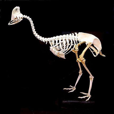 480px-Cassowary_skeleton.jpg