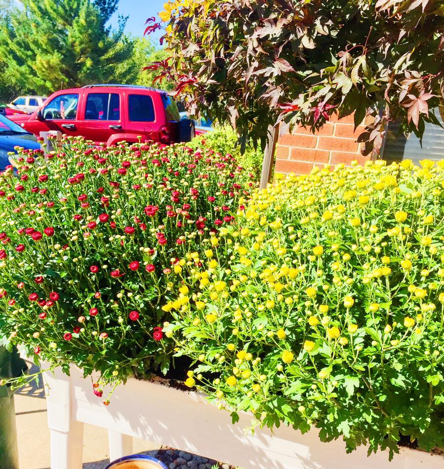 Shown Above; Wine & Bright Yellow Mums are Paramo Landscaping's Favorite Fall colors.