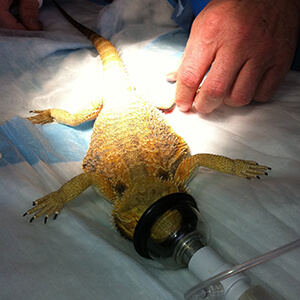 Prepping a bearded dragon for a spay