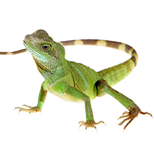 Chinese Water Dragon Care