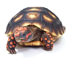 Redfoot Tortoise care