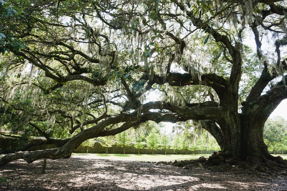 New Orleans_Oak Tree_Tree of Life_Tripp Films