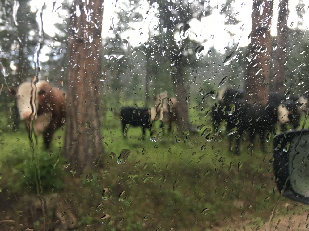 Kelly and the kids ran into some cows during the morning rains.