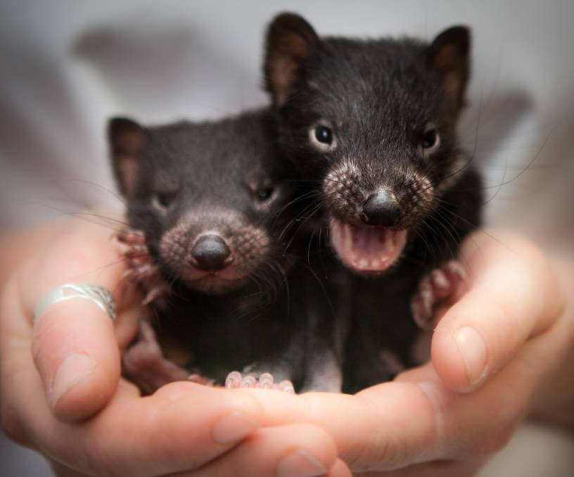Tasmanian Devil neonates